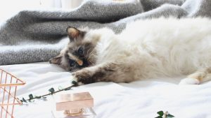 Birman Cat - Jessica Cantell
